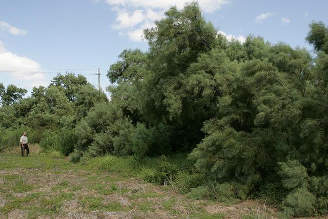 Salt Cedar Removal Audubon Kern River Preserve